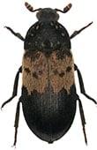 vyöihrakuoriainen