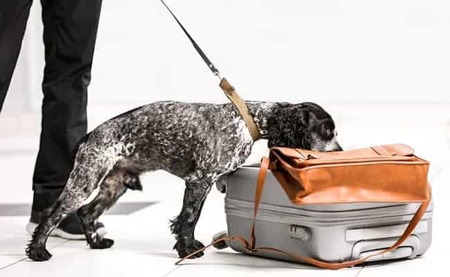 lutikka torjuntakoulutus koiralle