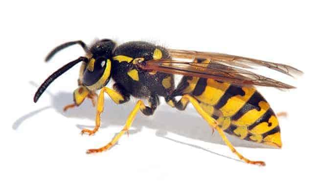 ampiainen ja sen torjunta