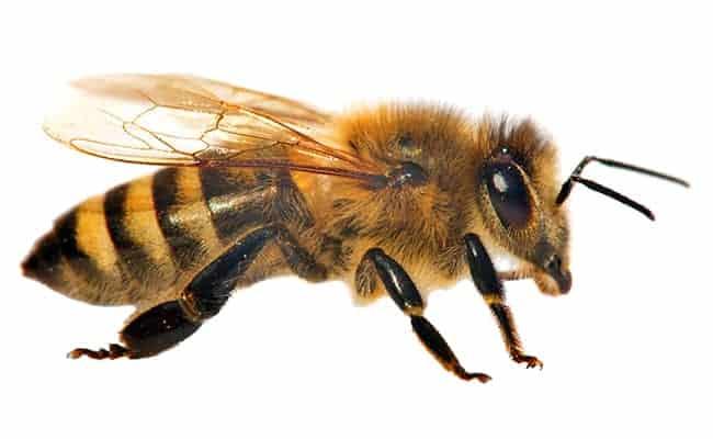 mehiläinen on hyödyllinen eläin