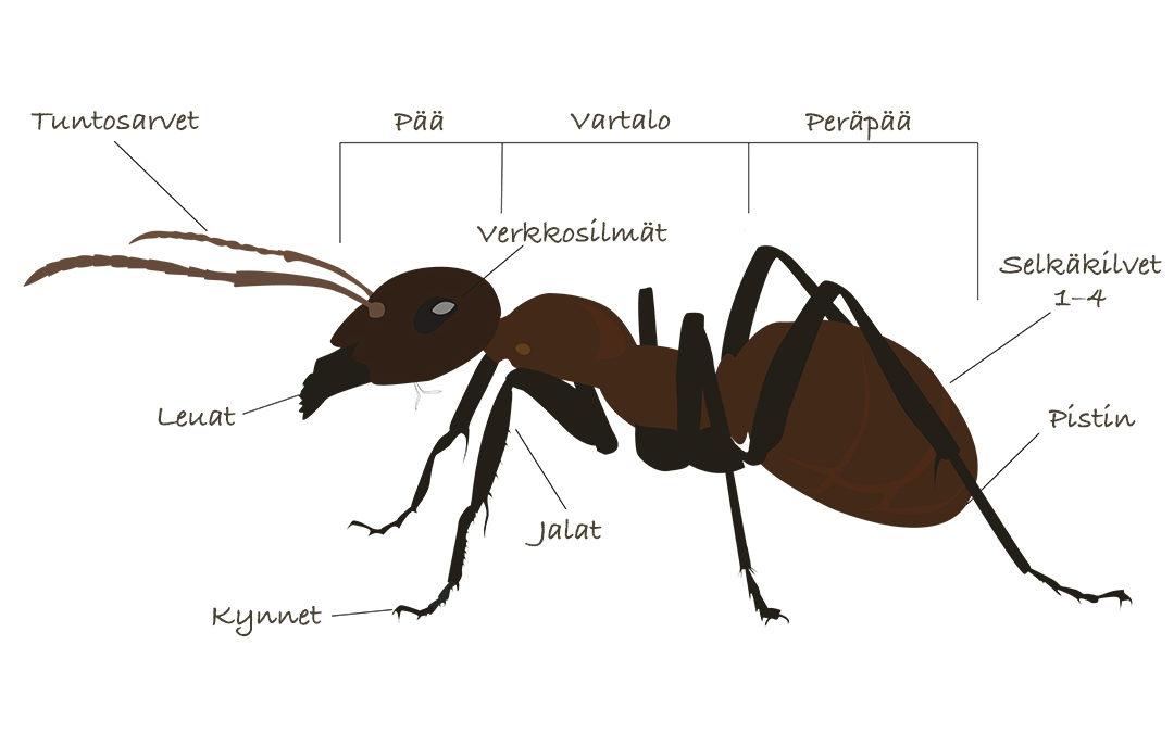 muurahaiset torjuu Delecon Oy